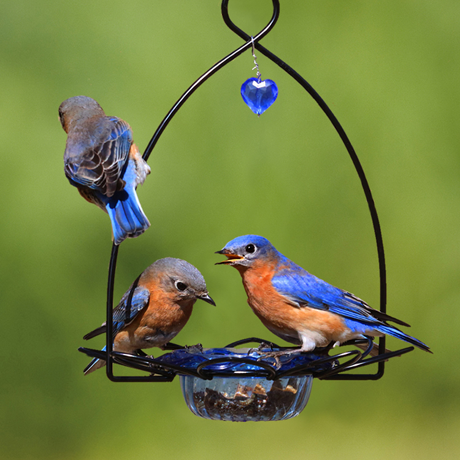 Three bluebirds on a mealworm dish feeder