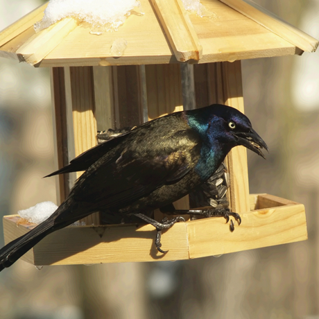 A large grackle on a small wood bird feeder