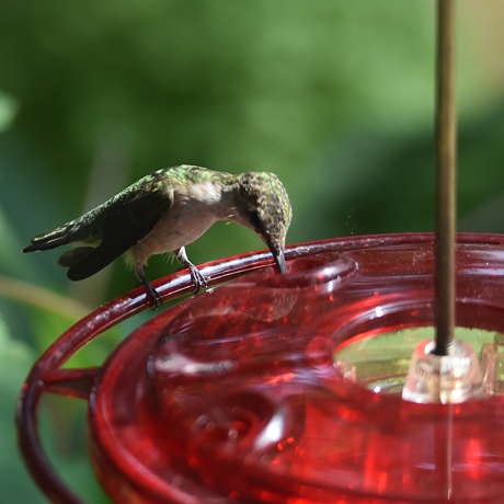 A hummingbird on a dish type nectar feeder