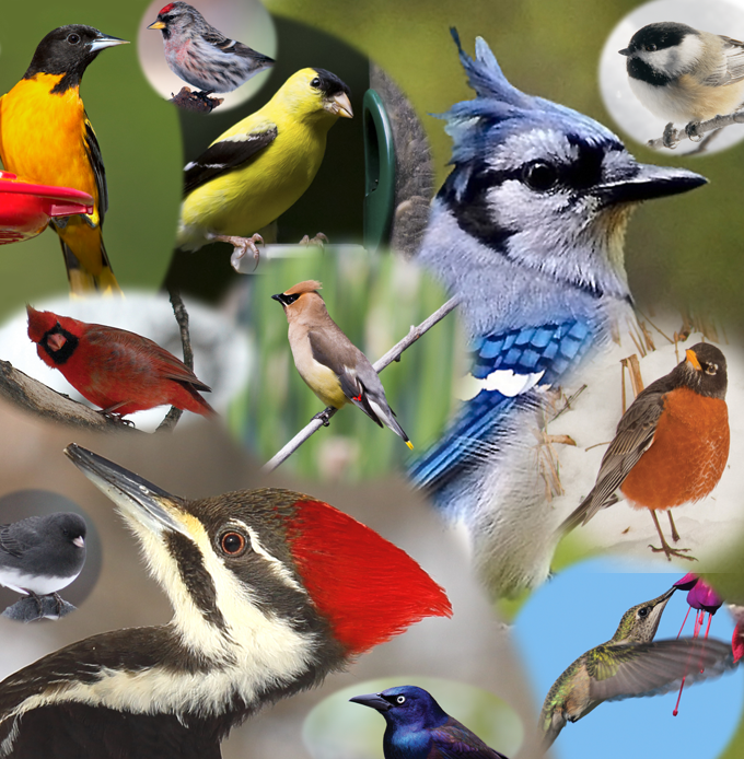 A collage of birds found in Minnesota