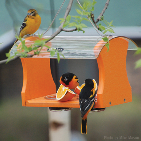 three orioles on a jelly feeder with orange slices