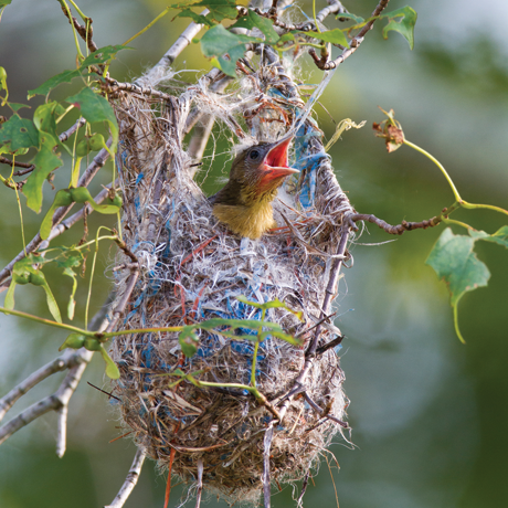 Oriole nestling in the nest