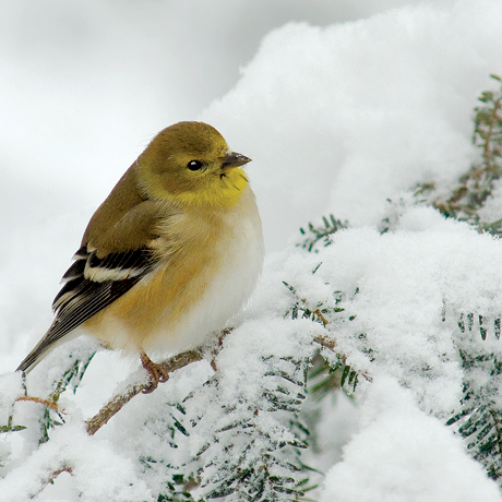 A goldfinch on a snowy pine branch